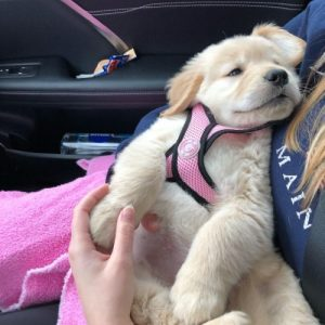 Golden retriever sleeping in car