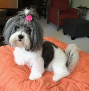 Havanese with ribbon