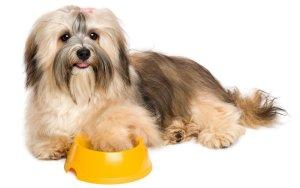 Happy Havanese dog