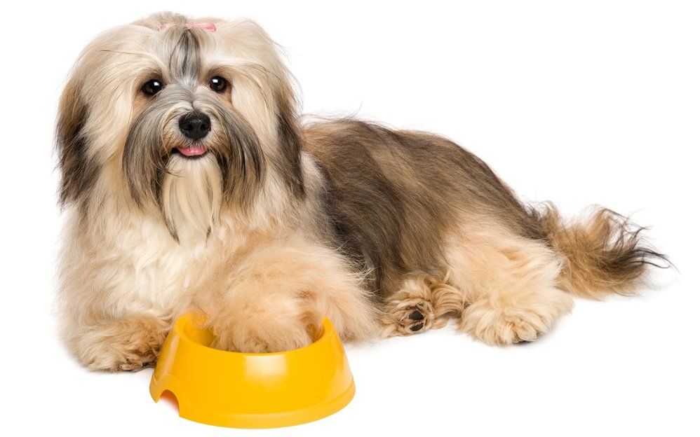 What do I feed my Havanese? Correct Havanese Nutrition starts here