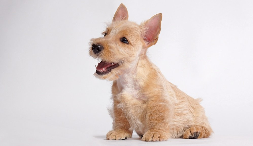 The First Few Weeks with a new Scottish Terrier – Tips from a Scottie Expert