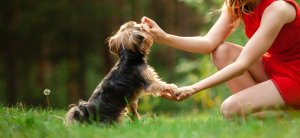 Woman giving yorkie a treat after training