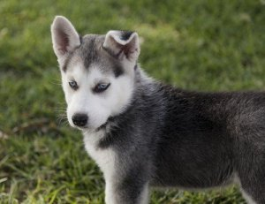 Picking a Husky Puppy