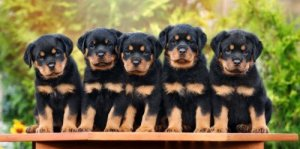 Selecting a Rottweiler puppy rom a breeder