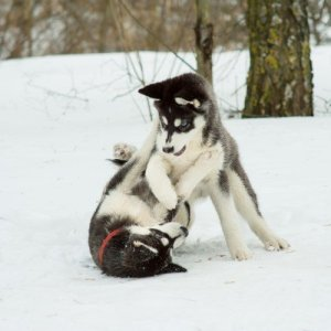 Bad Behavior in Huskies