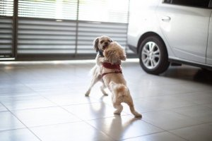 Two Shih Tzu Fighting