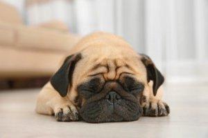Pug Snoring