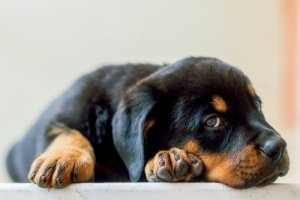 Rottweiler laying on the floor