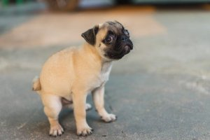 Pug potty training