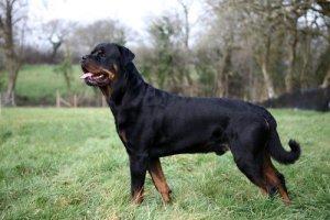Training a Rottweiler dog