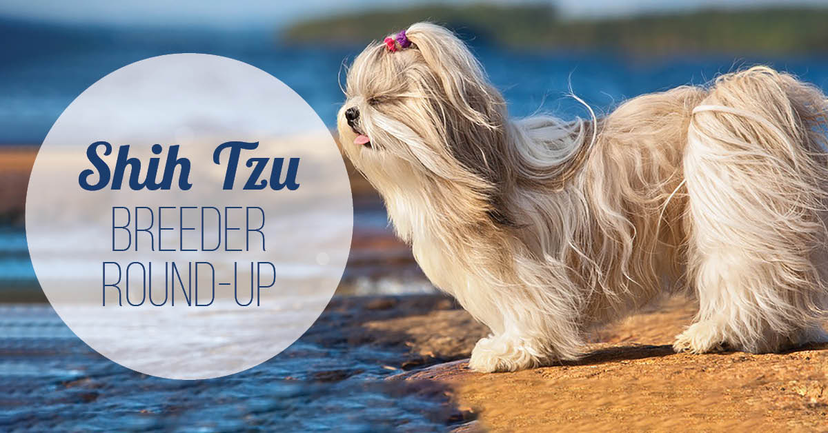 Shih Tzu Breeder Round-Up
