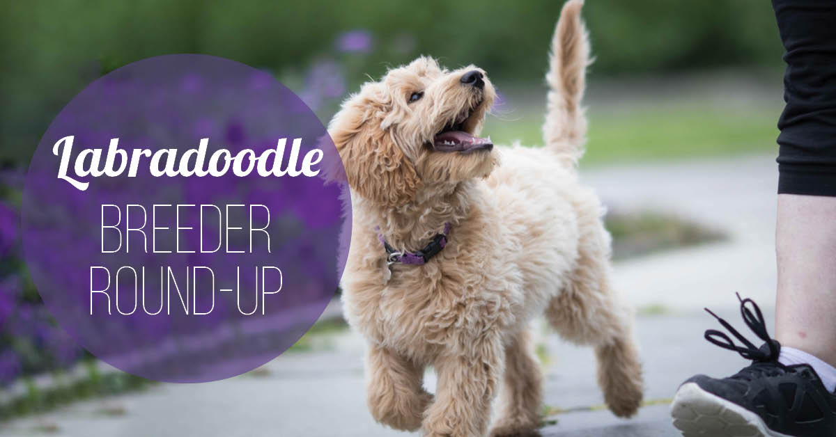 Labradoodle Breeder Tell-All: 16 Breeders Share their Top Tips for New Owners