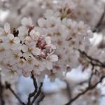 上野公園にお花見に行こう!場所取りや時間帯などのコツ