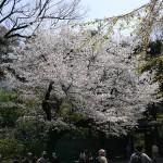お花見に行こう!東京で楽しめる穴場な夜桜のスポット!