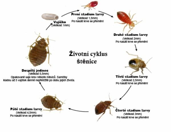 životní cyklus štěnice domácí
