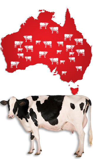 australia_cows_with_map.jpg