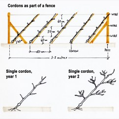 Diagram The Parts Of Cherry Blossom Tree Land Rover Discovery 4 Trailer Plug Wiring Planting And Training Suffolk Fruit Trees Cordon