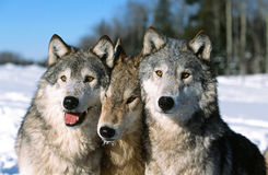 timber-wolf-pack-portrait-three-stooges-wolves-pose-winter-minnesota-snow-blue-skies-sunny-day-59224405