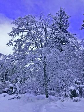 Snowy tree in Bellingham Washington Winter of 2019