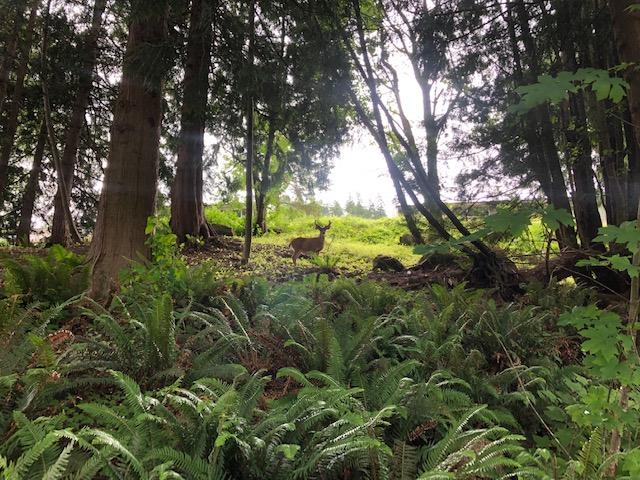 Deer in Sudden Valley