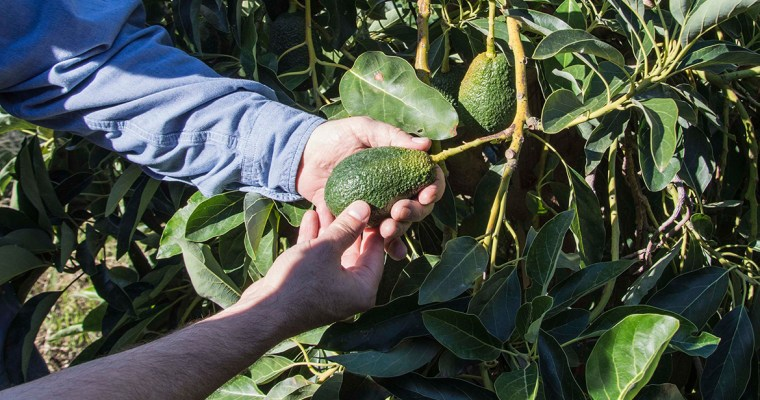 A Visit to Our Organic Avocado Farm