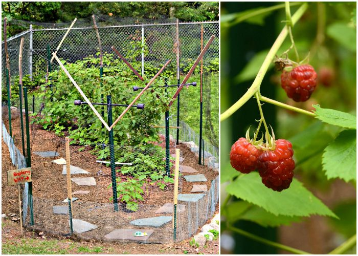 Fort Raspberry is keeping the critters away from our raspberry plants. It's doing a great job this summer!