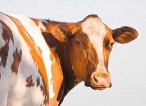 cow Burnham, UK, 2006
