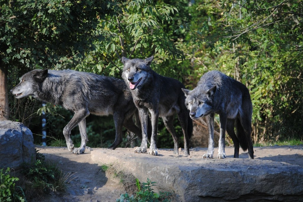 wolves, animals, animal world