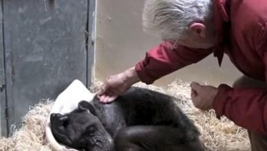Chimpanzé reencontrar o seu 1º cuidador e emociona a internet