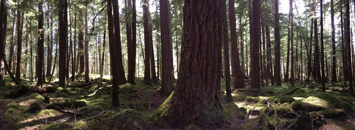 Old-growth forest in the Elwha River basn