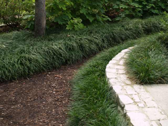 Mature monkey grass