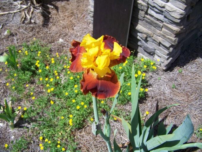 Seminole bearded iris