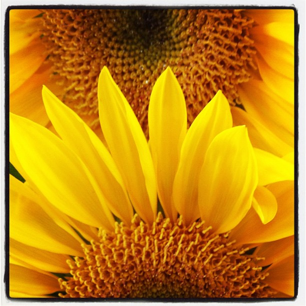 Bright Yellow Sunflower over Another