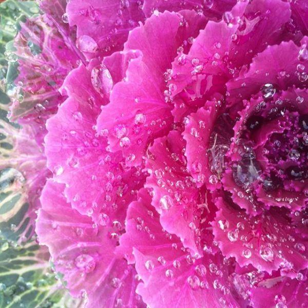 Wet Purple Plant Leaves