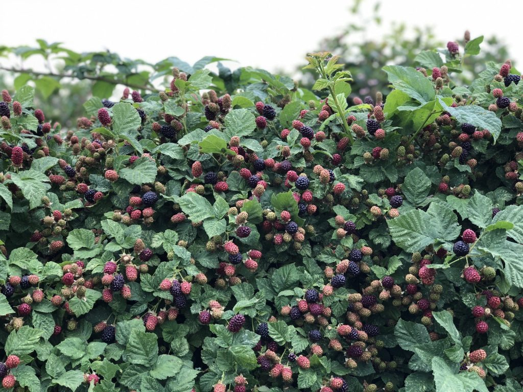 Hoffman Farms Store Really Into This Blackberries U-Pick