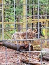 Wildlife Refuge - Coyotes