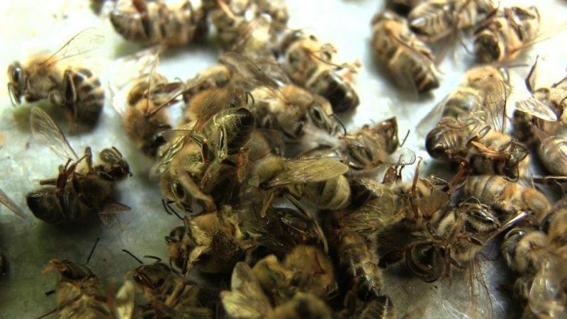 На Прикарпатті масово гинуть бджоли