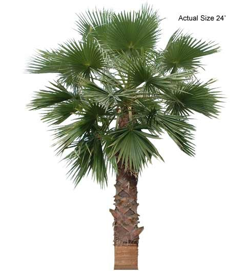 Mexican Palm Tree Care