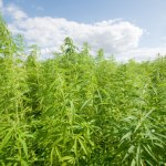 Tribal Sovereignty and Native Cannabis