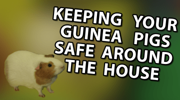 Keeping your Guinea Pigs Safe Around the House