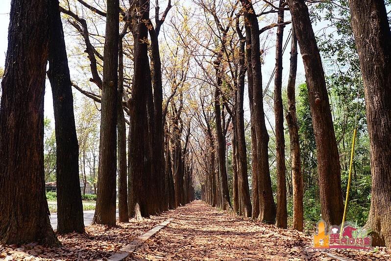新威森林公園 2018重新開放 徜徉在浪漫桃花心木大道