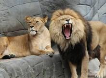 Ein Löwe und eine Löwin im Zoo. Der Löwe gähnt.