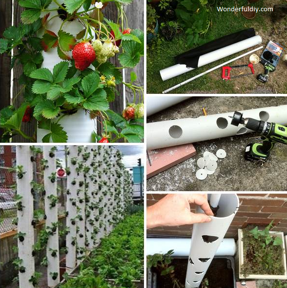 growing strawberries in PVC