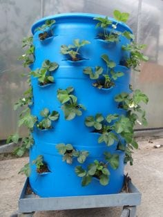 grow strawberries in barrels