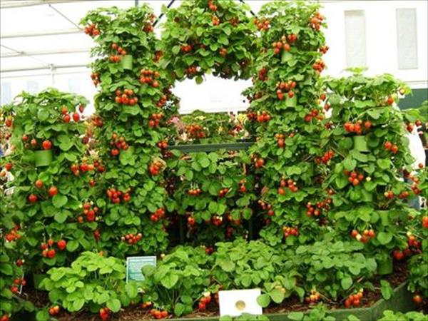 Charming Strawberries Growing Part   2: Charming Strawberries Growing Pictures Gallery