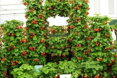 wall of strawberries