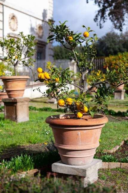 growing lemon from seed