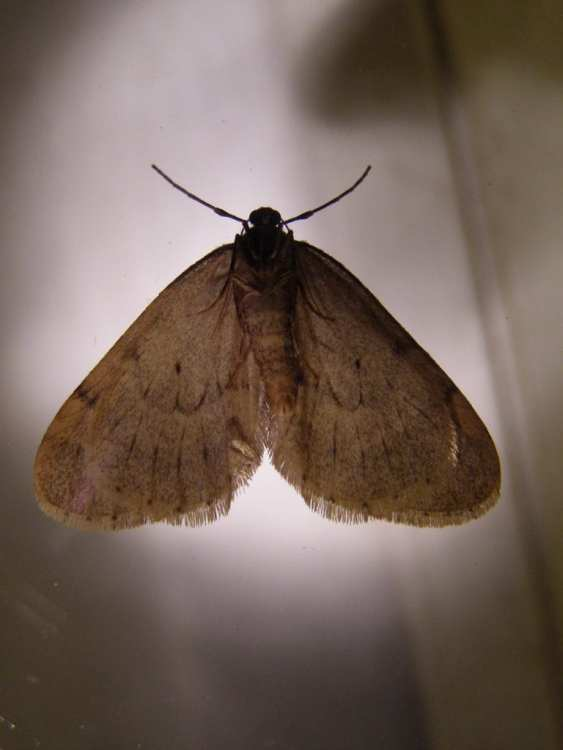 Moths from Pantry