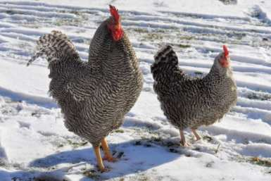 winter chicken care, chickens in winter