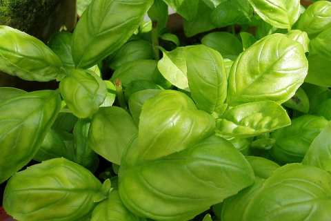 Permalink to: Plant Problems: Basil Diseases